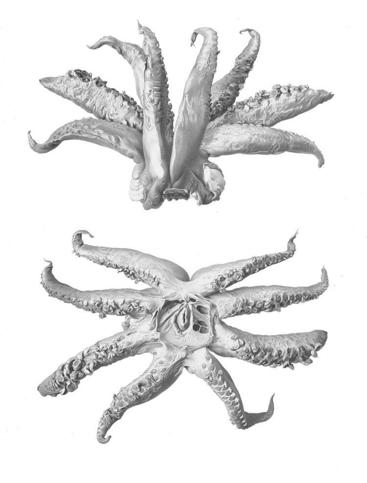 Cephalopod limb