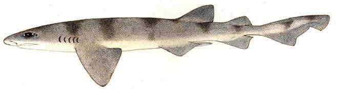 Cephaloscyllium Cephaloscyllium sufflans Balloon shark