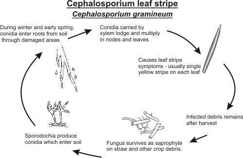 Cephalosporium gramineum Cephalosporium gramineum
