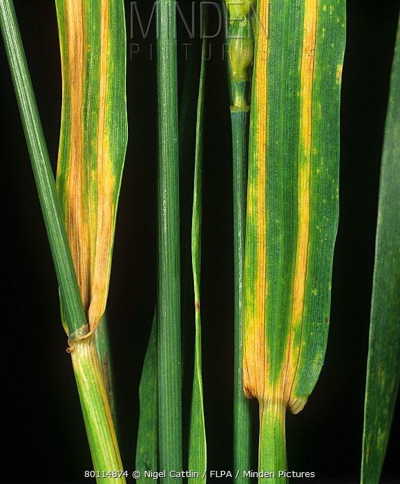 Cephalosporium gramineum Minden Pictures stock photos Cephalosporium leaf stripe