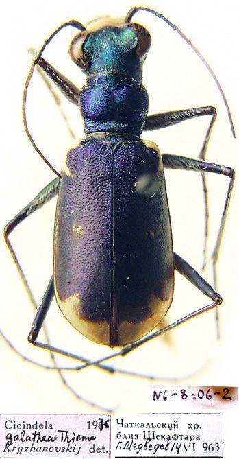 Cephalota Cephalota Taenidia galathea Theime 1881 Carabidae