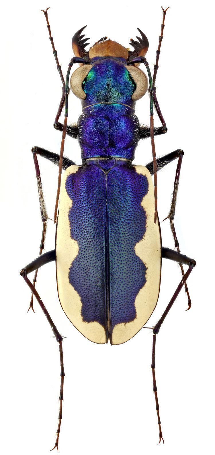 Cephalota Genus Cephalota Dokhtouroff 1883 Carabidae
