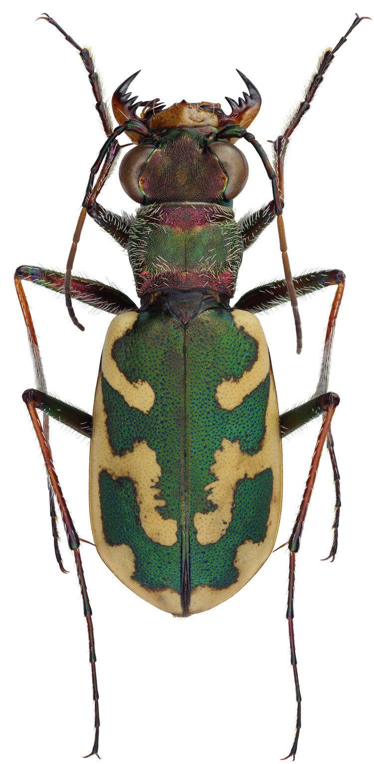 Cephalota Cephalota Taenidia besseri Dejean 1826 Carabidae