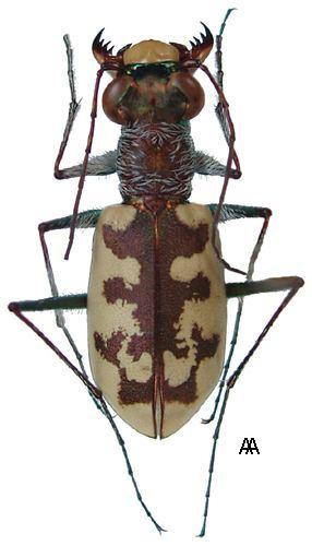 Cephalota carabidaeorgcarabidaeCephalota20Taenidia20cir