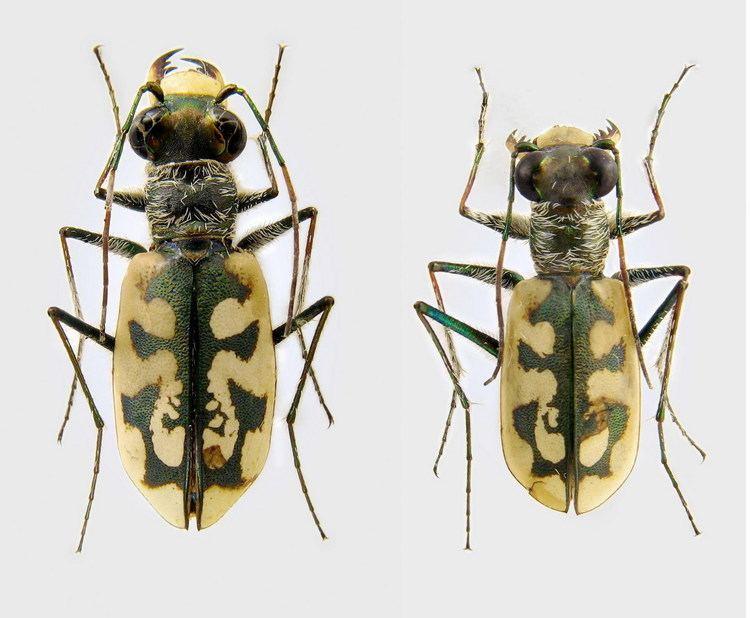 Cephalota Cephalota Taenidia elegans Fischer von Waldheim 1823 Carabidae