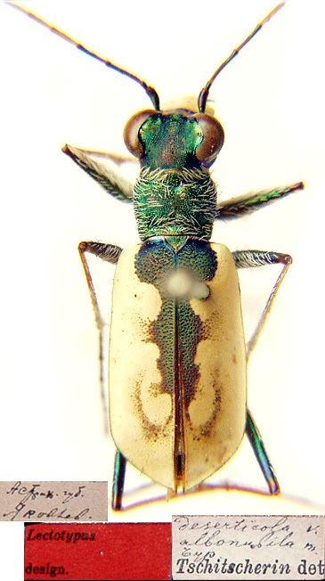 Cephalota Cephalota Taenidia deserticola Faldermann 1836 Carabidae