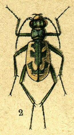 Cephalota elegans