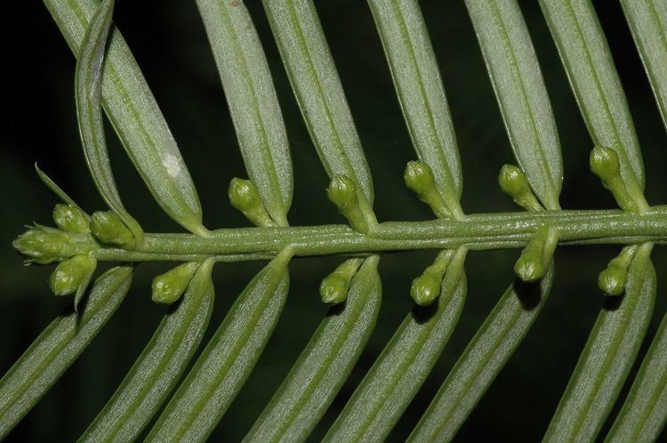 Cephalotaxaceae Cephalotaxus Cephalotaxaceae image 31274 at PlantSystematicsorg