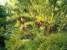 Cephalotaxaceae httpsuploadwikimediaorgwikipediacommonsthu