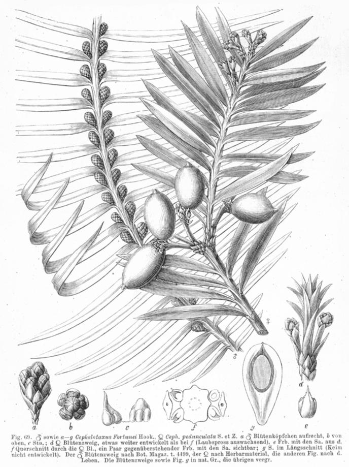 Cephalotaxaceae Cephalotaxus fortunei Cephalotaxaceae image 5120 at