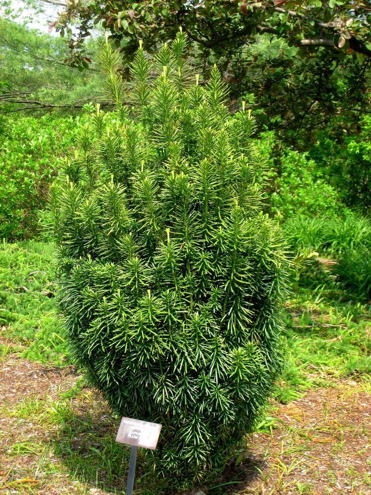 Cephalotaxus harringtonii FileCephalotaxus harringtonia Tower Hill Botanic GardenJPG