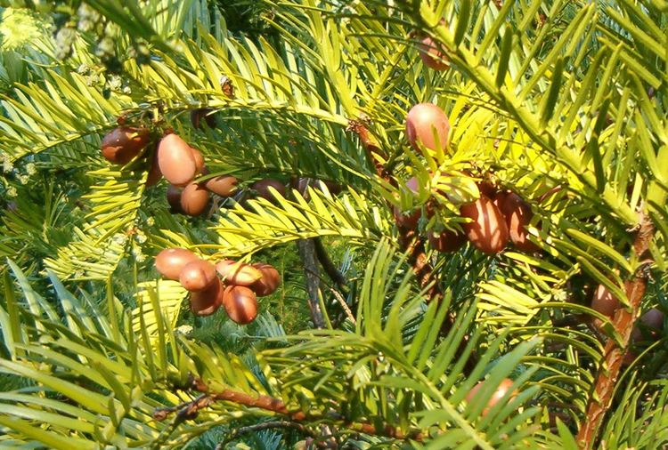 Cephalotaxus harringtonii Japanese Plum Yew Cephalotaxus harringtonia Revolutionary Gardens