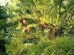 Cephalotaxus harringtonii httpsuploadwikimediaorgwikipediacommonsthu