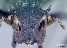 Cephalotes alfaroi httpsuploadwikimediaorgwikipediacommonsthu