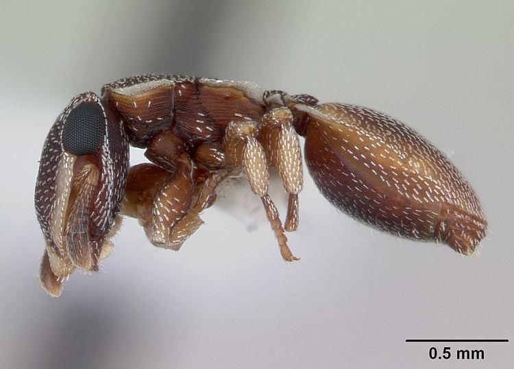 Cephalotes maculatus