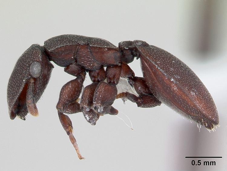 Cephalotes pallidoides