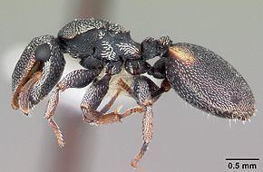 Cephalotes texanus httpsuploadwikimediaorgwikipediacommonsthu