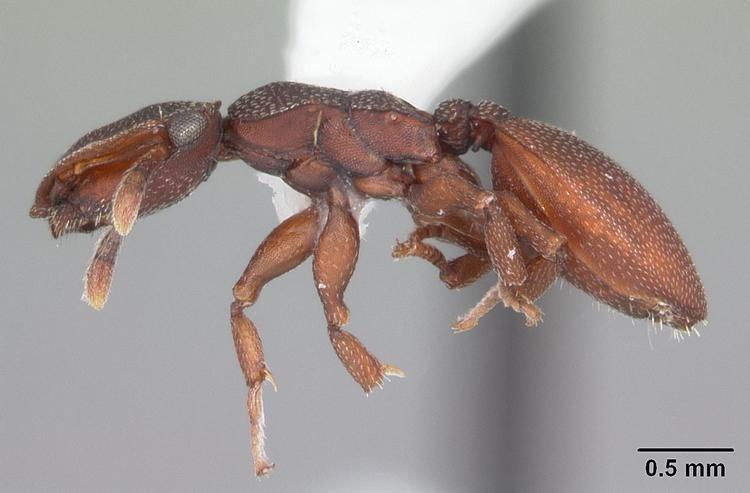 Cephalotes varians httpsuploadwikimediaorgwikipediacommons00