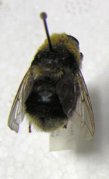 Cephenemyia ulrichii httpsuploadwikimediaorgwikipediacommonsthu