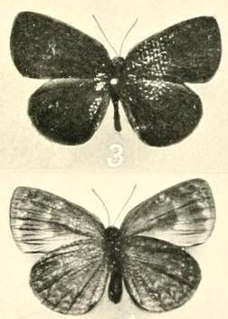 Cephetola catuna