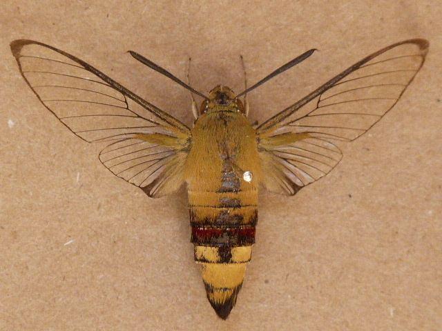 Cephonodes Cephonodes hylas African Moths