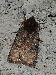 Cerastis rubricosa httpsuploadwikimediaorgwikipediacommonsthu