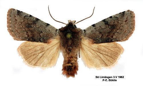 Cerastis rubricosa Cerastis rubricosa Insecta Lepidoptera Noctuidae