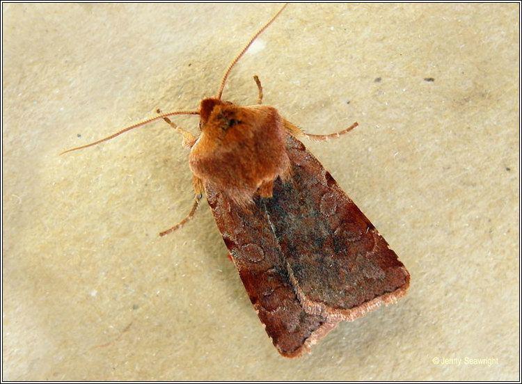 Cerastis rubricosa Irish moths Red Chestnut Cerastis rubricosa
