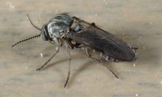 Ceratopogonidae Ceratopogonidae Dasyhelea BugGuideNet