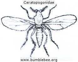 Ceratopogonidae Flies in the Psychodidae Ceratopogonidae Drosophilidae