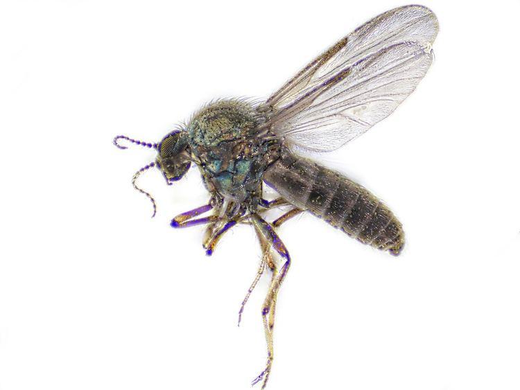 Ceratopogonidae Biting Midge Ceratopogonidae P10604885091 22 image focus Flickr