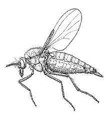 Ceratopogonidae httpsuploadwikimediaorgwikipediacommonsthu