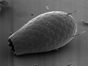 Cercozoa Cercozoa Wikipdia