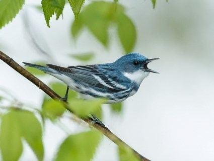 Cerulean warbler httpswwwallaboutbirdsorgguidePHOTOLARGECe