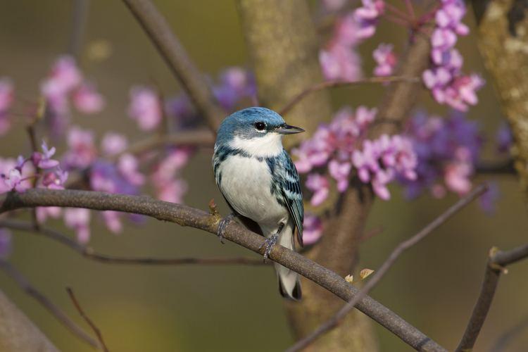 Cerulean warbler Cerulean Warbler The Audubon Birds amp Climate Change Report