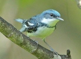 Cerulean warbler Cerulean Warbler Life History All About Birds Cornell Lab of