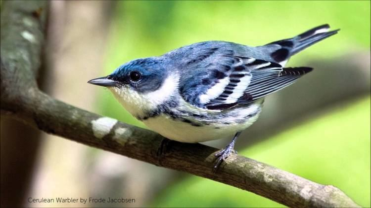 Cerulean warbler Cerulean Warbler Song YouTube