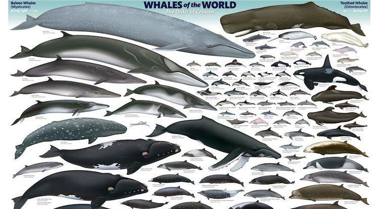 Cetacea Are Your Smarter Than A Cetacean Julia de Guzman