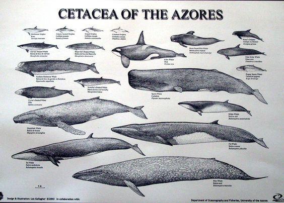 Cetacea Cetacea Killer Whales Adaptations Whale Rescues Pinterest