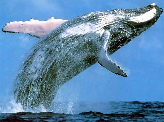 Cetacea Cetacea Marine Mammals Animal Pictures and Facts FactZoocom