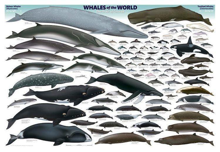 Cetacea Are You Smarter Than A Cetacean