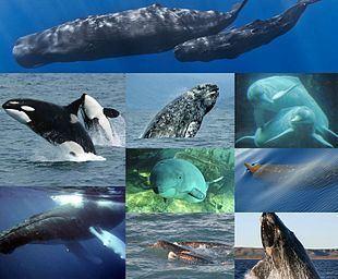 Cetacea Cetacea Wikipedia