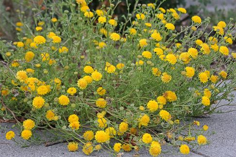 Chaenactis Chaenactis glabriuscula quotYellow Pincushionquot Buy Online at Annie39s