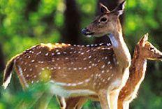 Chail Sanctuary wwwhimachalpradeshtourismorgimageswildlifecha