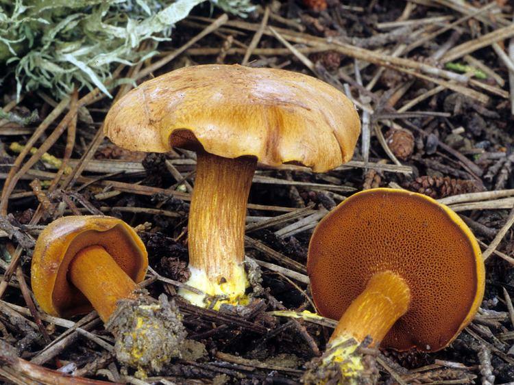 Chalciporus California Fungi Chalciporus piperatus