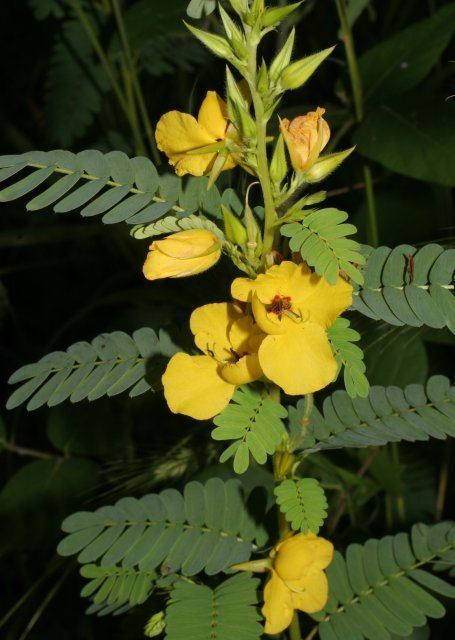 Chamaecrista fasciculata Chamaecrista fasciculata Partridge Pea