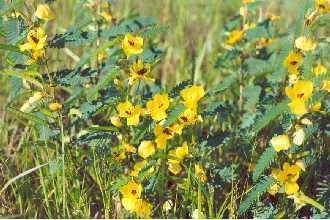 Chamaecrista fasciculata Plants Profile for Chamaecrista fasciculata fasciculata partridge pea