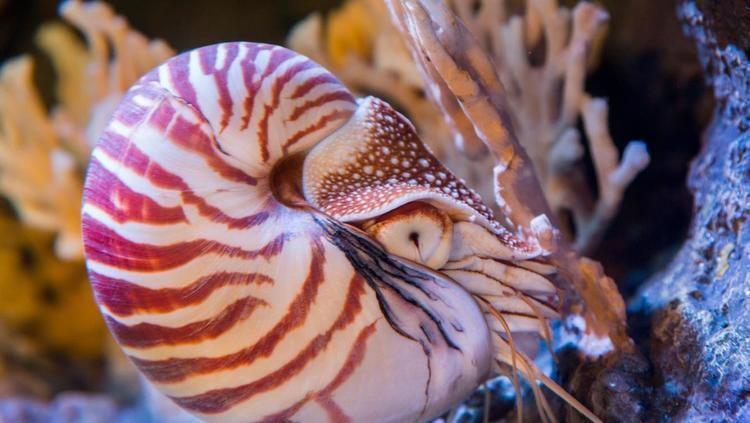 Chambered nautilus Chambered nautilus Reefs amp Pilings Octopuses amp kin Nautilus sp