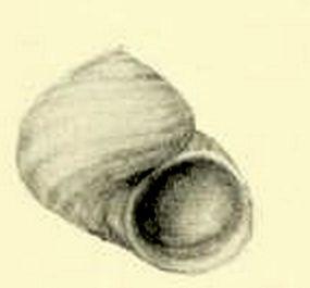 Charisma arenacea