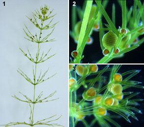 Charophyceae CharophyceaeIMGjpg